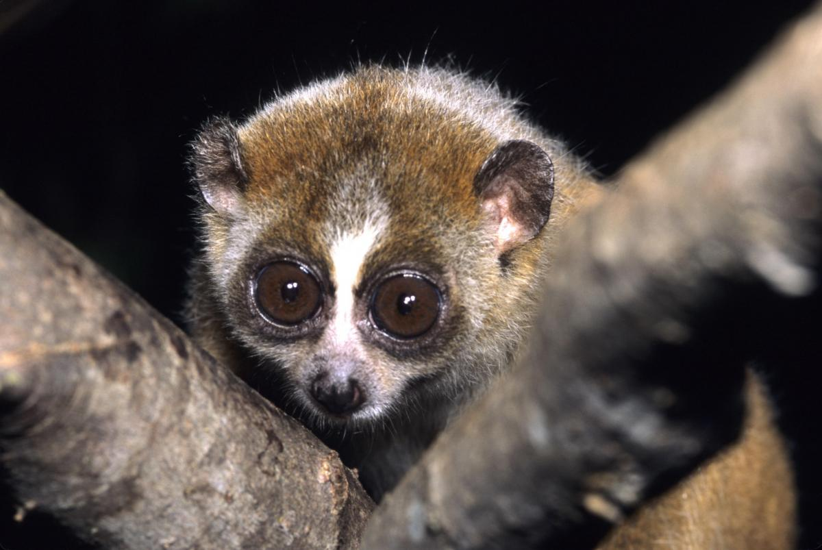 """Nycticebus pygmaeus 002"" by David Haring / Duke Lemur Center - email. Licensed under CC BY-SA 3.0 via Commons - https://commons.wikimedia.org/wiki/File:Nycticebus_pygmaeus_002.jpg#/media/File:Nycticebus_pygmaeus_002.jpg"